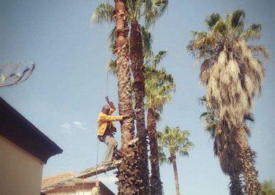palm tree felling sunninghill