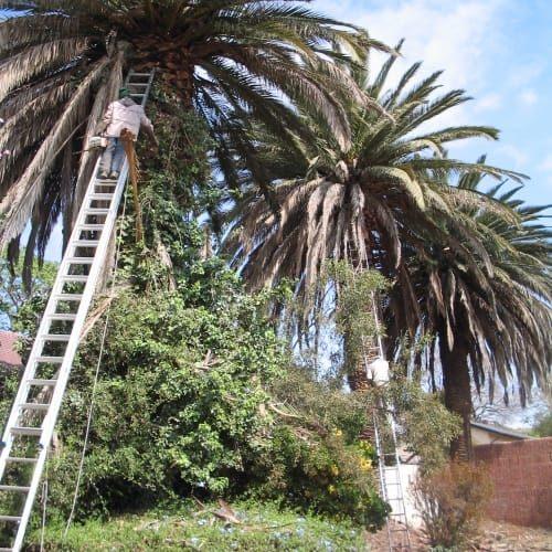 palm tree trimming bryanston