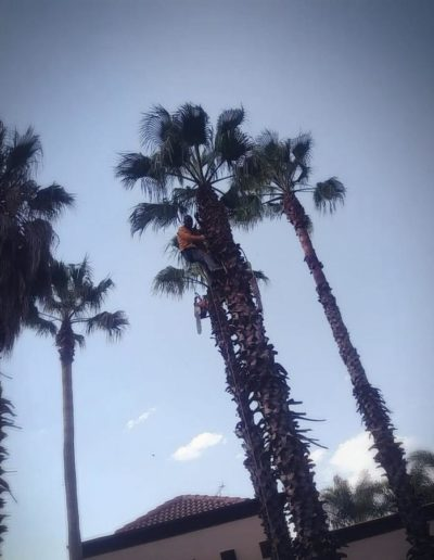 palm tree trimming sandton